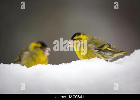 Male eurasian siskin (spinus spinus) feeding on seeds found under the snow in Winter. Tarin des aulnes mâles de nourrissant de graines en hiver. - Stock Photo