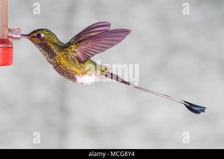Booted Racket-tail hummingbird, Ocreatus underwoodii, at Tandayapa Lodge in Ecuador. - Stock Photo
