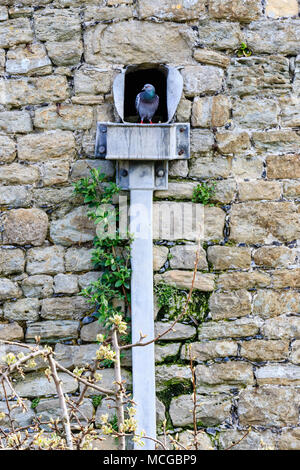 England. Deal Castle. A lone Pigeon standing in gutter through wall on top of drain in stone wall of castle, looking out at the world. - Stock Photo