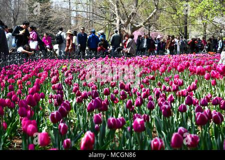 Qingdao, China's Shandong Province. 17th Apr, 2018. Citizens view the tulips during a flower appreciation event at Zhongshan park in Qingdao, east China's Shandong Province, April 17, 2018. Credit: Li Ziheng/Xinhua/Alamy Live News - Stock Photo