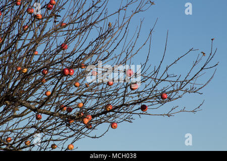 Ripe apples on leafless branches with a bright blue autumnal sky, Bath England UK - Stock Photo