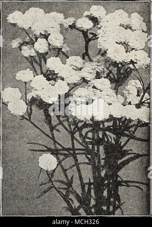 ". Achillea ""The Pearl."" General List of Hardy Perennial Plants. For New and Rare Varieties see pages 196 to 202. NOTE.—All orders are forwarded upon receipt, unless instructed to the contrary. Customers placing orders for Stock to be reserved and sent later must distinctly specify this at the time of ordering. AC^ENA (New Zealand Burr). Pretty evergreen rock plants of cushion-like growth, cultivated for their showy, crimson spines, which are borne on the calyx. Buchanani. Glaucous green fern-like foliage. 25 cts. each; §2.50 per doz. Microphylla. Pretty dark bronze foliage. 25 cts. e - Stock Photo"