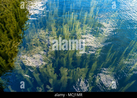 Ceratophyllum aquatic plant growing underwater - Stock Photo