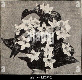 . V 1 IGELIA Cornus Florida [White Flowering Dogwood). 50 cts. each; $5.00 per doz. Sanguinea (Red Twigged Dogwood). Sericea. Corymbs of white flowers in spring. Desmodiiini Peiidulifloriim. Bright rose; September. Deiitzia Candidissinia Plena. Double white: May. Creiiatix fl. pi. Wliite, tinged with pink. Gracilis. Pare white. Gracilis Rosea. White, tinted with pink. Lenioinei. Very large pure white flowers. Pride of Uochester. Double white; May. Scabra. Large single white, tinged pink. Eleagniis Lon^ipes. Euonymus Europseus {Burning Bush). Forsythia Fortiinei [Golden Bell). Yellow; early sp - Stock Photo