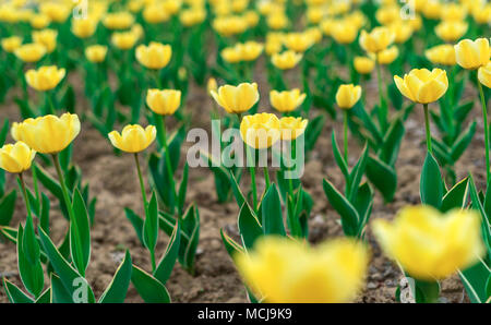 Tulips blooming on the flowerbed. - Stock Photo