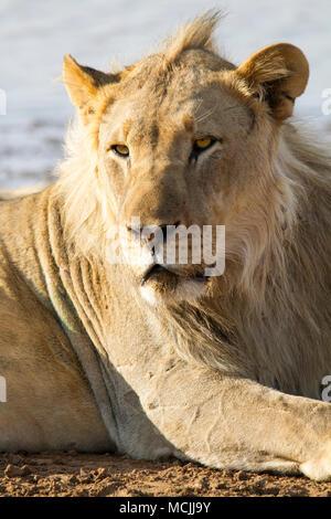 Lion (Panthera leo), male young, animal portrait, Erindi Game Reserve, Namibia - Stock Photo
