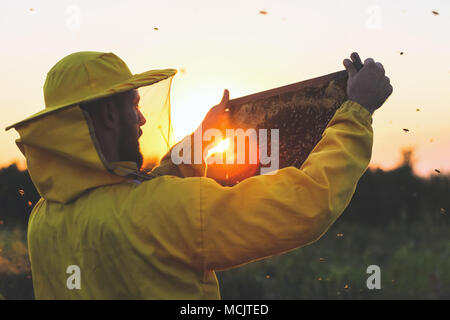 Apiarist inspecting honeycomb frame with bees in the sunset - Stock Photo
