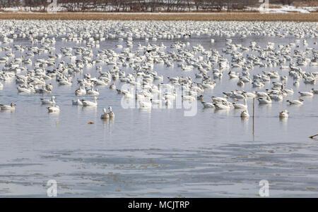 Migration Oie des neiges Baie-du-Febvre Québec Canada - Stock Photo