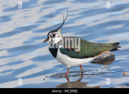 Detailed, close-up side view of isolated UK northern lapwing bird (Vanellus vanellus UK) head crest up, wading in rippled sunlit water, feet hidden. - Stock Photo