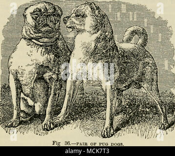 . -PAIR OF PUG DOGS. time residing in London; and some other fanciers of less note. According to Mr. Morrison's statement to me (which, however, he did not wish made public during his life), this strain was lineally descended from a stock possessed by Queen Charlotte, one of which is paiiit?d with great care in the well-known portrait of George IIL at Hampton Court; but I could never get him to reveal the exact source from which it was obtained. - Stock Photo