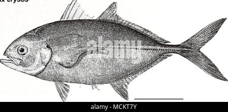 . 10 cm (from Goode 1884) Common Name: blue runner Scientific Name: Caranx crysos Other Common Names: jager boca, bau, deep water cavaly (McKenney et. al. 1958); carangue coubal (French), cojinuda negra (Spanish) (Fischer 1978, NOAA1985). Classification (Robins et al. 1991) Phylum: Chordata Class: Osteichthyes Order: Perciformes Family: Carangidae Value Commercial: The blue runner is one of the most com- mercially important species of the jacks, but stocks still remain relatively unexploited (Heald 1970, Goodwin and Johnson 1986). Annual landings of blue runner in the northeast Gulf of Mexico  - Stock Photo