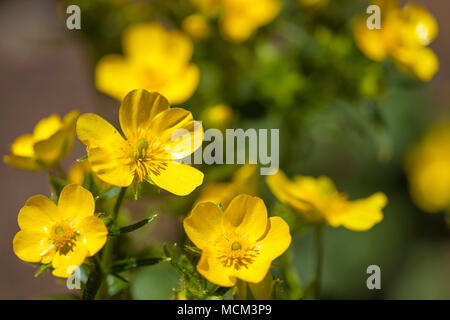 Flora of Gran Canaria - Ranunculus cortusifolius, Canary buttercup - Stock Photo