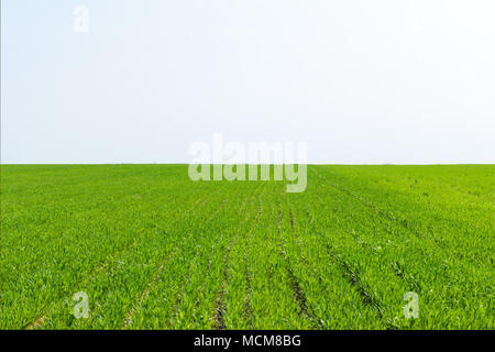Young green wheat growing in field in spring sunny day. - Stock Photo