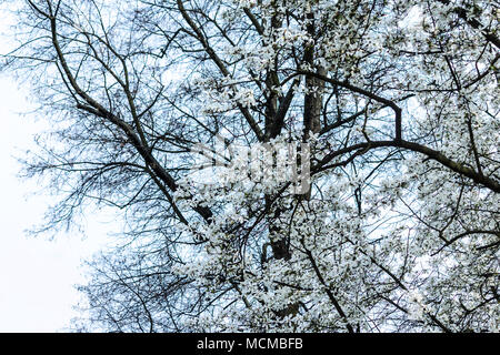 Branches with magnolia flowers against the background of a tree without leaves. White beautiful flowers on the site about nature, colors, ecology, sea - Stock Photo