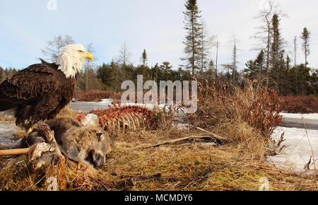 A Bald Eagle watching for competitors as it feeds on a White-Tailed Deer. - Stock Photo