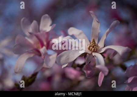 Pink soft dreamy magnolia flowers against the blue sky Magnolia loebneri Leonard Messel pink flowers close up - Stock Photo