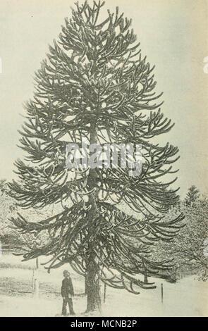 . Fig. 29. Arauearia imbrieata Pav., 12 m hoch. (Aus: Mitteilungen der deutschen dendrologischen Gesellschaft.» - Stock Photo