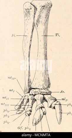 . Fig. 479. Rechter Hinterfuß und Unterschenkel von Diplodocus Carnegiei, Hatcher, aus den Atlantosaurus Beds von Wyoming. Vn nat. Gr. (Nach J. B. Hatcher, 1901.) As. = Astragalus. Fi. = Fibula. TL = Tibia. mtj., mtn., rntjri., mtIv., mtv. = erstes bis fünftes Metatarsale. Gf. - Gelenkfläche der zweiten Phalange der dritten Zehe. ph. = Phalangen. y//(3. plii. pht - Stock Photo