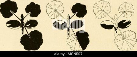 . Fig. 104. Schematische Darstellung der Entstehung von Sektorialchimären bei Bastarden zwischen einer grünen und einer weißen Sippe von Pelargoniuvi. Liegt der Vegetations- kegel in einem grünen Mosaikstück, so geht eine rein grüne Pflanze daraus hervor (a), liegt er in einem weißen Mosaikstück, so entsteht eine rein weiße Pflanze (c), liegt er auf der Grenze eines grünen und eines weißen Mosaikstückes, so erhalten wir eine auf der einen Seite weiße, auf der anderen Seite grüne Pflanze. (Aus Baur.) steuert einen Teil der Piastiden (h's befruchteten Eies bei, die grüne Pflanze mit normalen Pia - Stock Photo