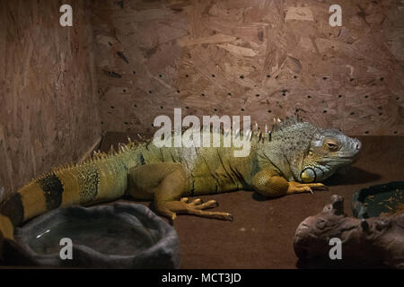 Beautiful iguana in terrarium - Stock Photo