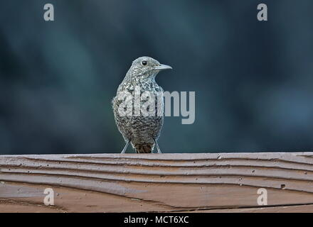 Blue Rock-thrush (Monticola solitarius philippensis) adult female perched on fence rail  Lanyu Island, Taiwan                 April - Stock Photo