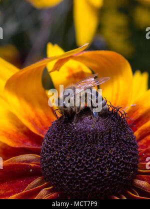 A rough bee collects pollen from flowers. - Stock Photo