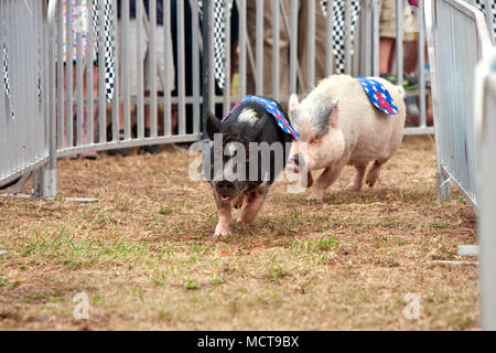 Two pigs race through a turn in one of several pig race competitions held at the Georgia State Fair on September 27, 2014 in Hampton, GA. - Stock Photo