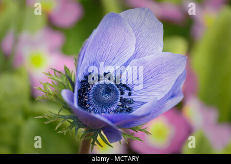 A single windflower (Anemone coronaria, De Caen group) blooms on a sunny day in April, with a blurred background of pink primroses and green foliage. - Stock Photo