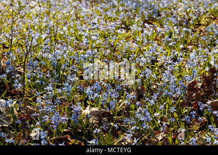 Flowering of small blue flowers Scilla in the spring in a forest, background - Stock Photo