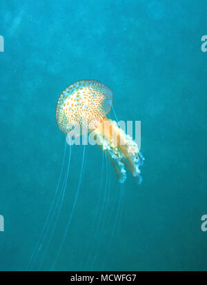 Jellyfish or Mauve stinger, Pelagia noctiluca. Is typically an offshore species, although sometimes it is washed near the coastlines and may be - Stock Photo