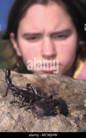 Giant forest scorpion, Heterometrus swammerdami. With girl watching. Holds the record for being the world's largest scorpion species in the world - Stock Photo