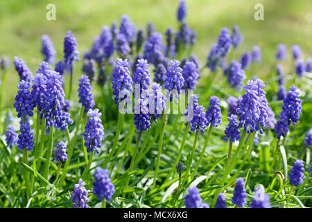 Muscari armeniacum grape hyacinth growing in a clump in a garden - Stock Photo