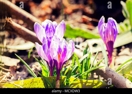 Purple spring flowers. Violet crocuses in the rays of the morning sun (Crocus vernus) - Stock Photo