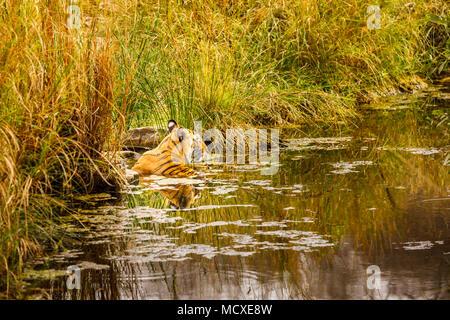Female Bengal tiger (Panthera tigris) cooling in a waterhole, Ranthambore National Park, Rajasthan, northern India - Stock Photo
