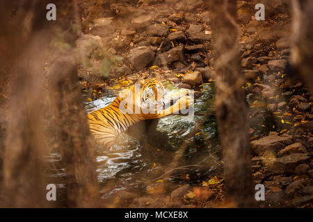 Snarling Bengal tiger (Panthera tigris) laying cooling in a waterhole partially concealed, Ranthambore National Park, Rajasthan, northern India - Stock Photo