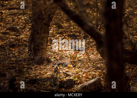 Bengal tiger (Panthera tigris) laying down at rest camouflaged in dappled light in woodland, Ranthambore National Park, Rajasthan, northern India - Stock Photo