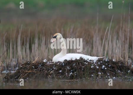 Mute swan (Cygnus olor) breeding in the nest, Emsland, Lower Saxony, Germany - Stock Photo
