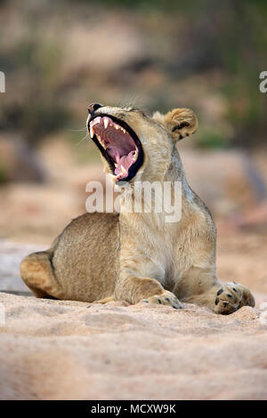 Lioness (Panthera leo), adult female, yawning, sitting in dry riverbed, Sabi Sand Game Reserve, Kruger National Park - Stock Photo