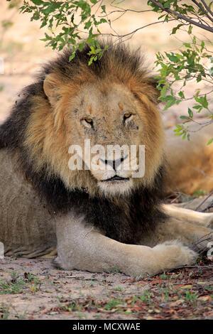 Lion (Panthera leo), adult male, animal portrait, sitting under bushes, Sabi Sand Game Reserve, Kruger National Park - Stock Photo