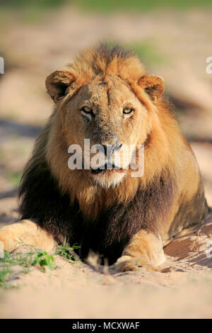 Lion (Panthera leo), adult male, animal portrait, sitting in dry riverbed, Sabi Sand Game Reserve, Kruger National Park - Stock Photo