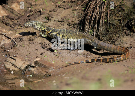 Nile monitor (Varanus niloticus), adult on the water, Kruger National Park, South Africa - Stock Photo