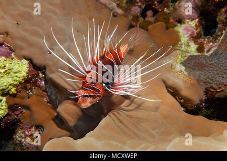 Radial firefish (Pterois radiata) in the coral reef, nocturnal, Red Sea, Egypt - Stock Photo