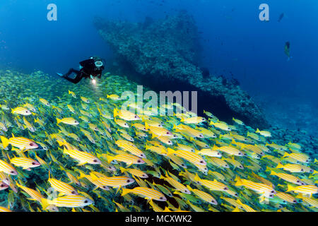 Diver watches large shoal of fish Bluestripe snapper (Lutjanus kasmira), Indian Ocean, Maldives - Stock Photo