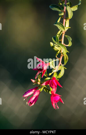 red fuchsia blossoms hanging out side of the pot in the evening sun - Stock Photo