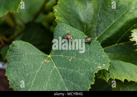 the grape vine destroyers are back for a visit - Japanese beetles - Stock Photo