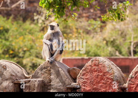 Grey langur (Semnopithecus entellus), an old world monkey, sits and relaxes on a wall in Ranthambore National Park, Rajasthan, northern India - Stock Photo