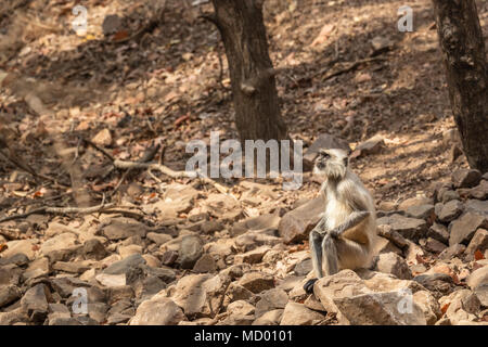 Elderly grey langur (Semnopithecus entellus), an old world monkey, sitting on rocks in Ranthambore National Park, Rajasthan, northern India - Stock Photo