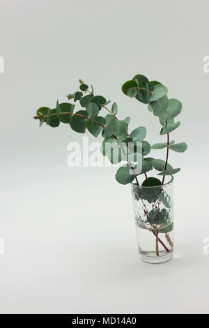 eucalyptus branches in glass with water on white background - Stock Photo