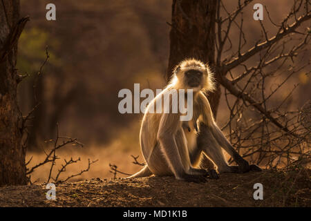 Backlit grey langur (Semnopithecus entellus), an old world monkey, sitting in woodland in Ranthambore National Park, Rajasthan, northern India - Stock Photo
