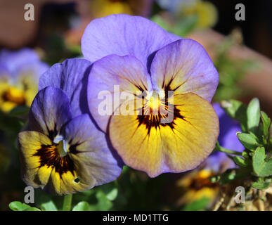 Beautiful and unusual violet blue colored Viola flower, sunlit and in closeup - Stock Photo